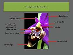 ophrys parts
