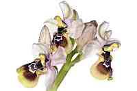 Crete Orchid